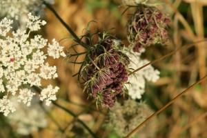 Cabezuela de semillas de zanahoria silvestre / Aceytuno / Agosto 2018