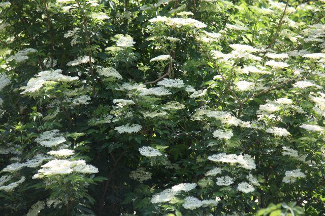 Flores en corimbo del saúco / Aceytuno